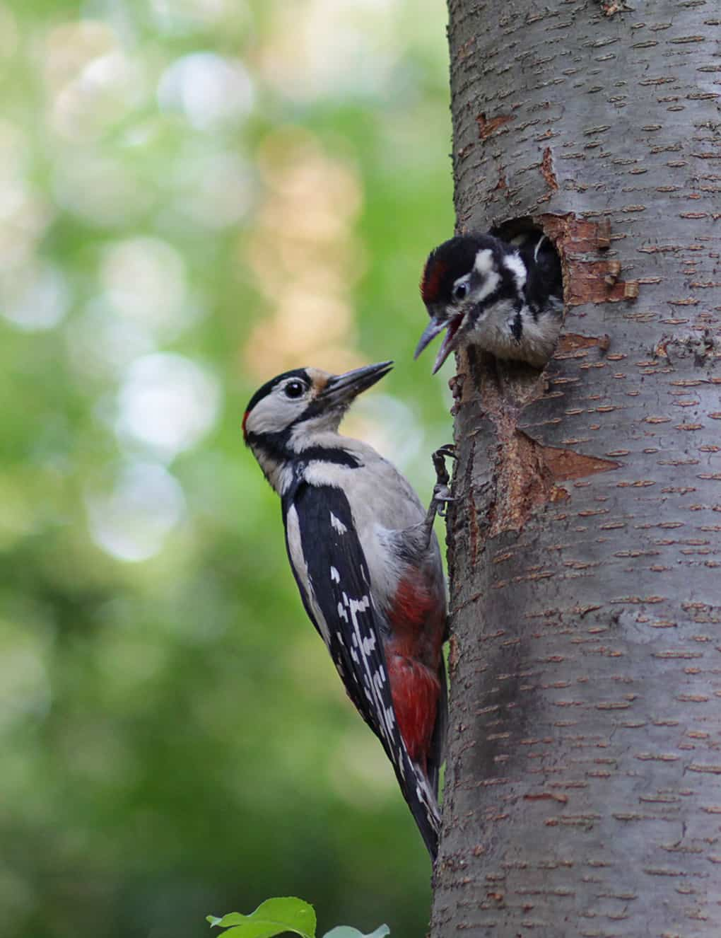 Woodpecker feeds the chick in the nest hollow. Birds
